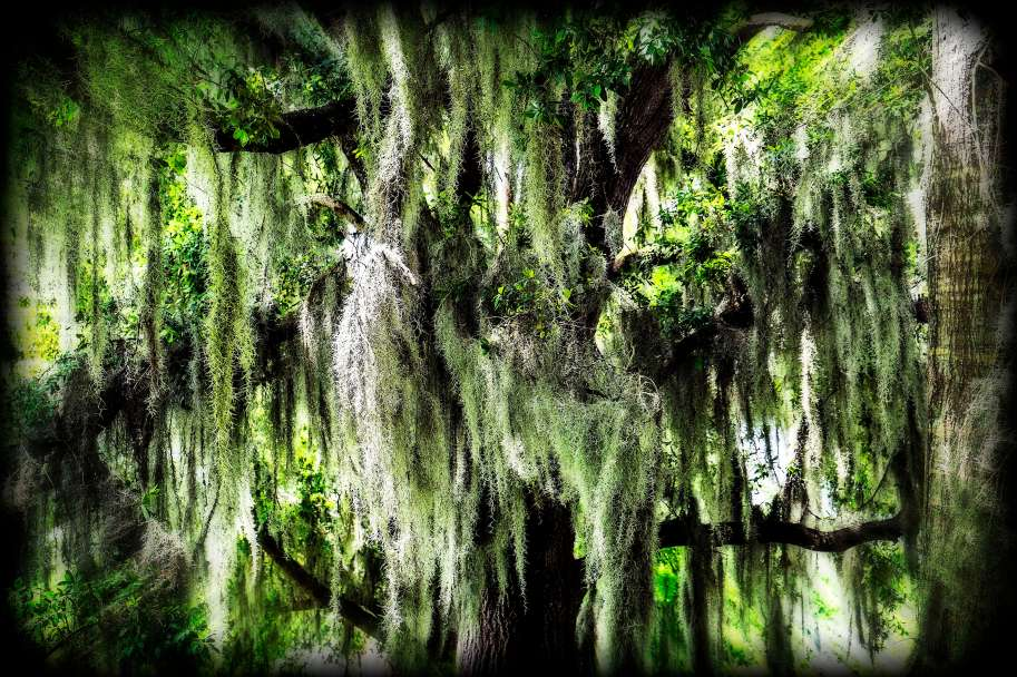 Spanish Moss and Texas Live Oaks.