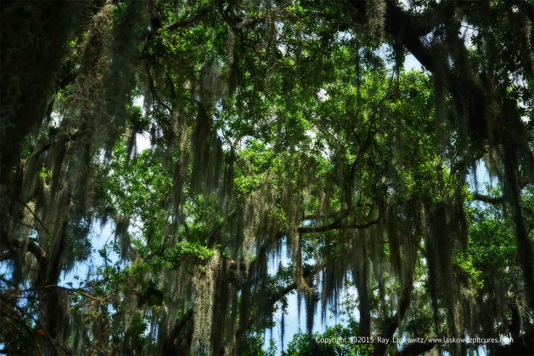 Southern Trees and Spanish Moss