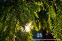 Louisiana Pine