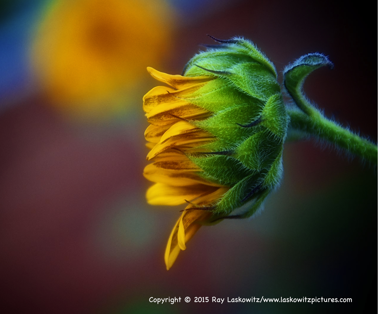 Summer sunflower in Albuquerque, New Mexico.