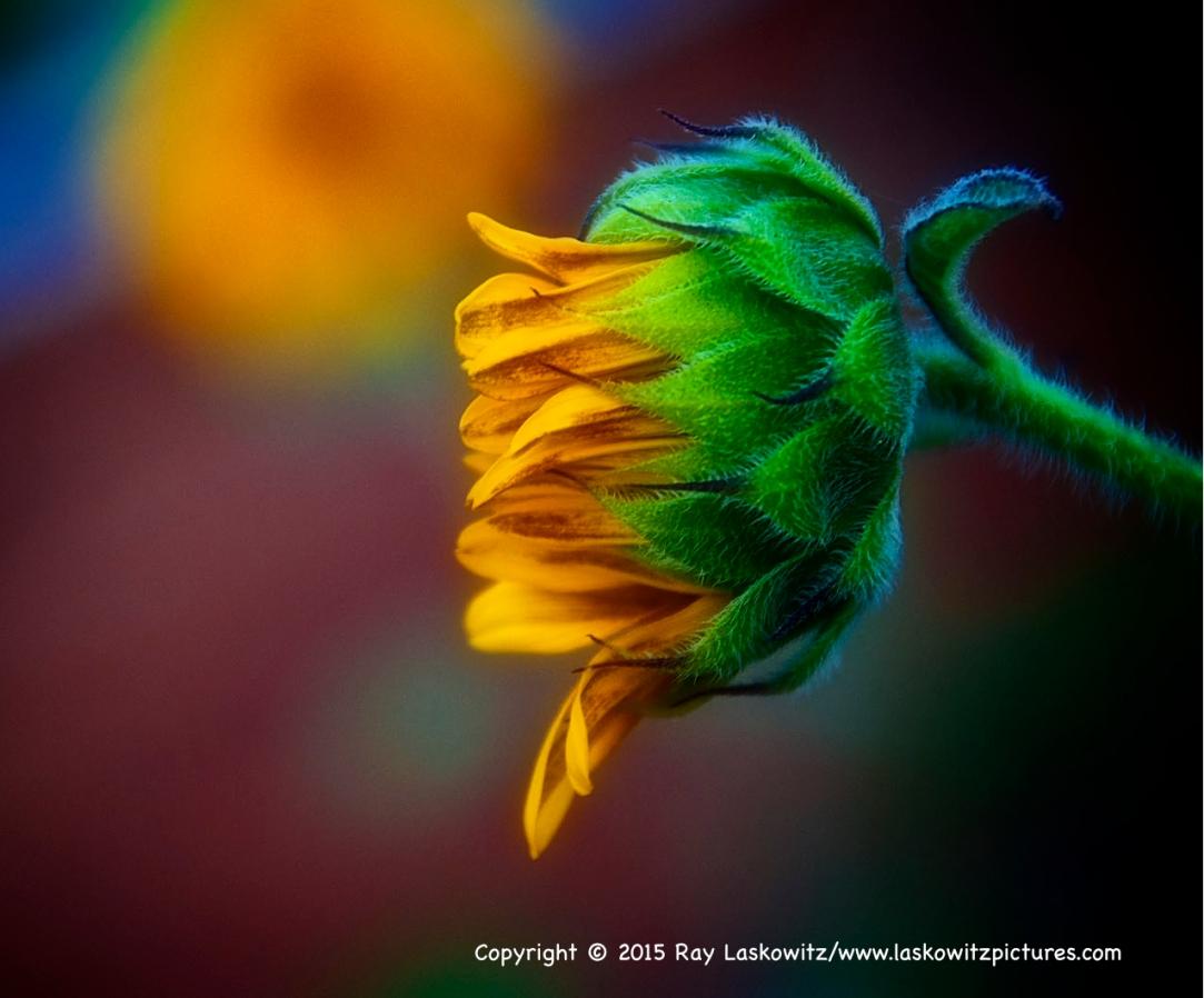 Summer sunflower in Albuquerque, New Mexico.