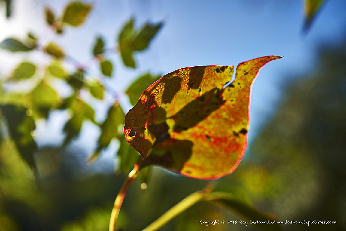 That's it. The leaf of Fall.