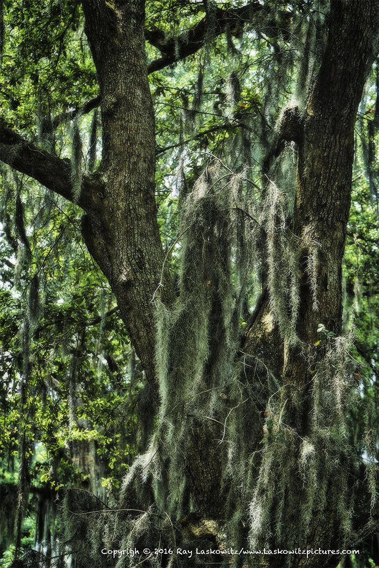 Spanish Moss, the symbol of the South.
