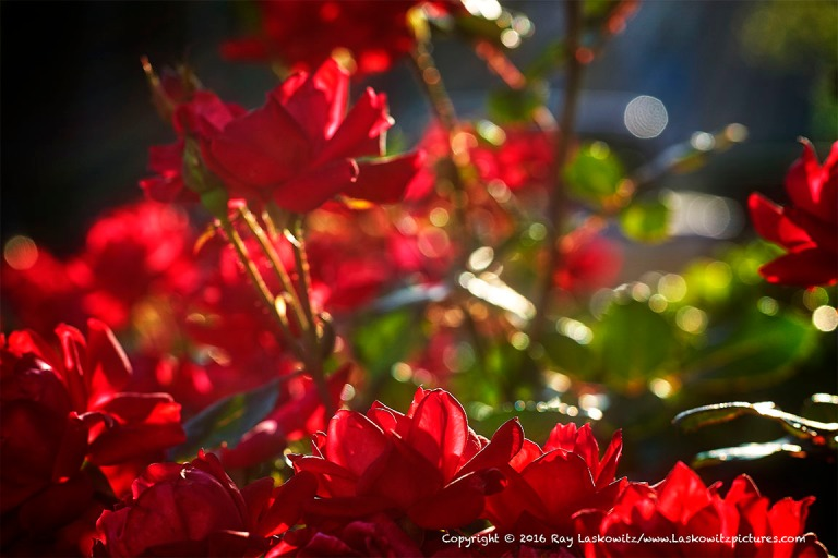 Roses in the soft sunlight.