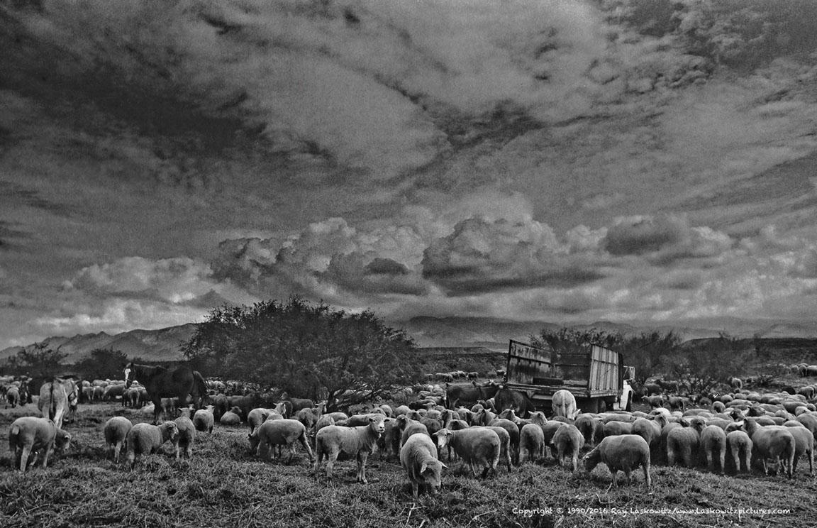 Sheep on the range.