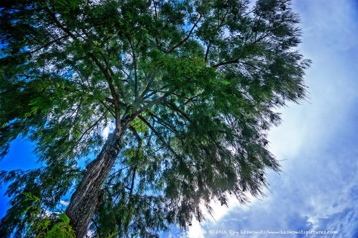 Summer tree.