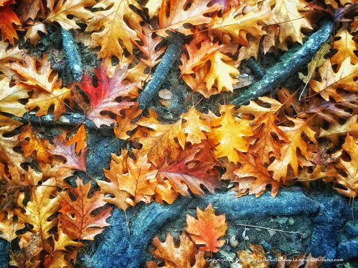 Fall leaves among tree roots.