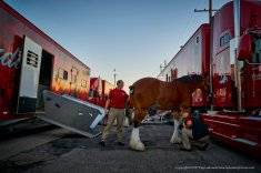 Clydesdales at the ready.