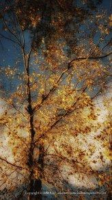 Golden light, golden leaves.
